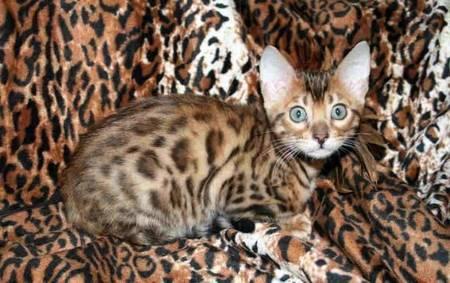 кот бенгальский фото